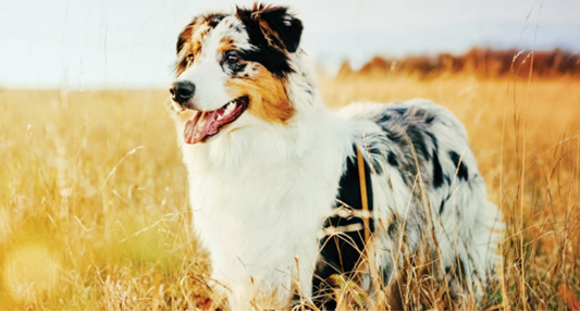 Essential Nutrients for Companion Animals