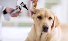 How to Identify, Treat, and Prevent Dog Ear Infections?