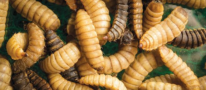 Rabobank: Insect Protein Demand may hit Half a Million mt by 2030